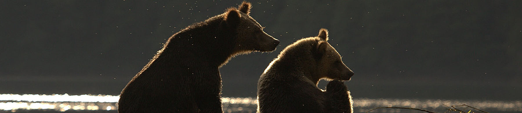 Two brown bears sit on the beach in the dying light.