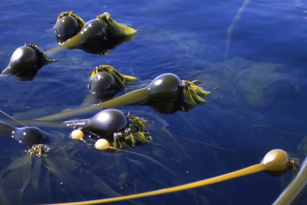 A row of bull kelp floating on the surface of the water
