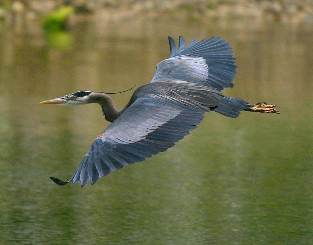 A great blue heron mid-flight