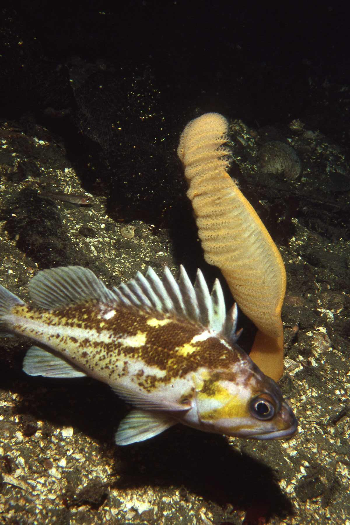 A rockfish swimming next to an underwater plant