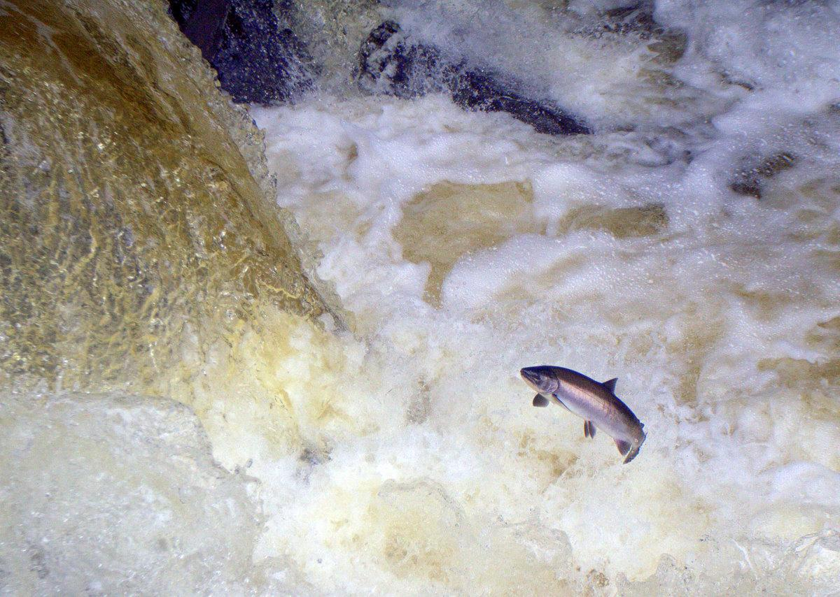 A salmon leaping in river rapids