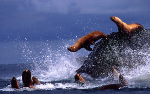 sea lions jump from a rock into the ocean