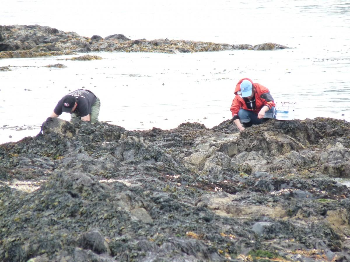 Two people harvesting spawn on kelp