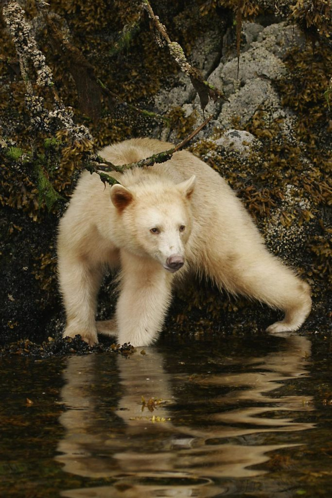 A Spirit Bear in an intertidal zone