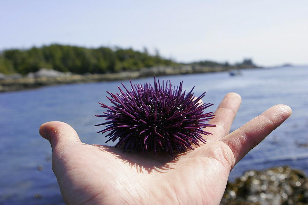 A person's hand holding a sea urchin