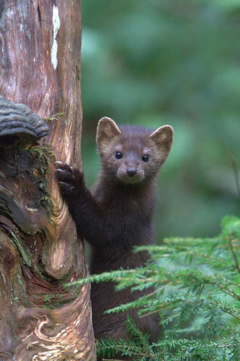 A weasel faces forward, holding on to the trunk of a tree