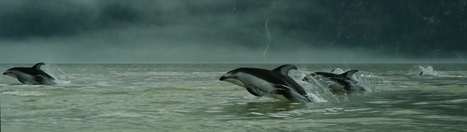 Dolphins jump out of the water on a foggy day on the central coast.