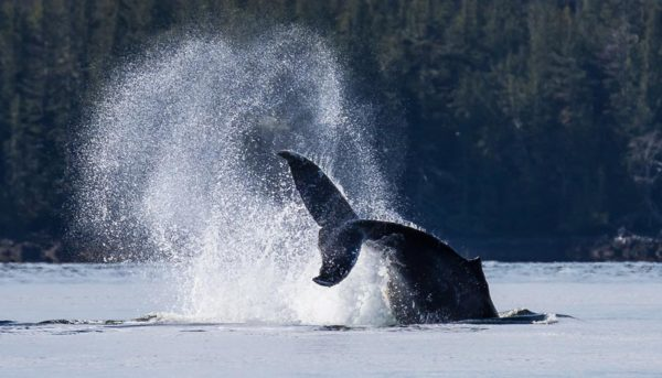 Humpback whale jumps and dives spraying water with it's tail