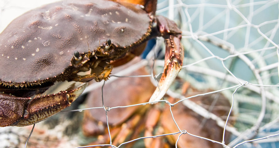 Dungeness crab on top of a crab trap