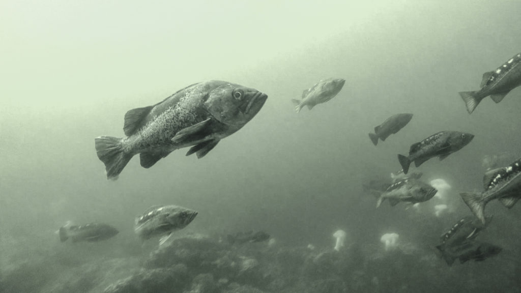 A black rockfish among a school of yellowtail rockfish in central coast waters.