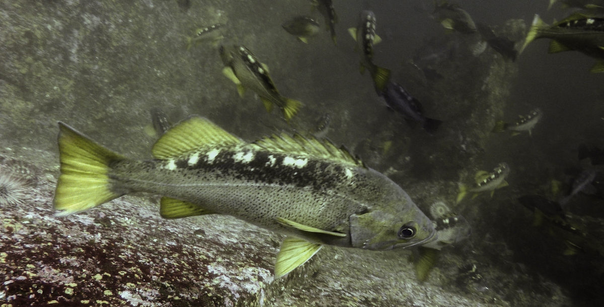 A yellowtail rockfish in a central coast Rockfish Conservation Area in British Colubmia