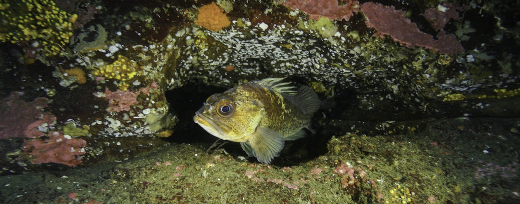 Quillback Rockfish in the waters of the central coast of British Columbia