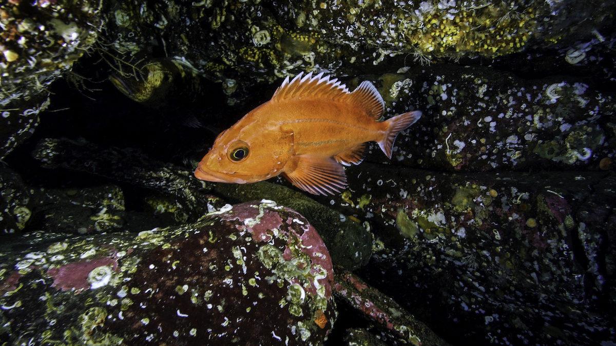 A young yelloweye rockfish among some rocks