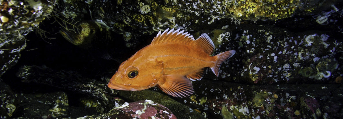 A young yelloweye rockfish among some rocks