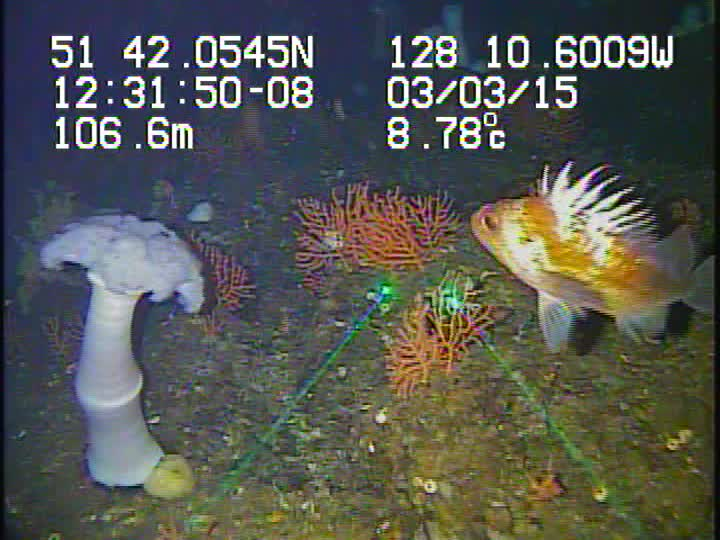 Quillback rockfish and plumose anenome in waters off the central coast of British Columbia
