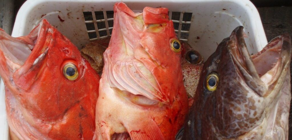 Two yelloweye rockfish and one lingcod in a box