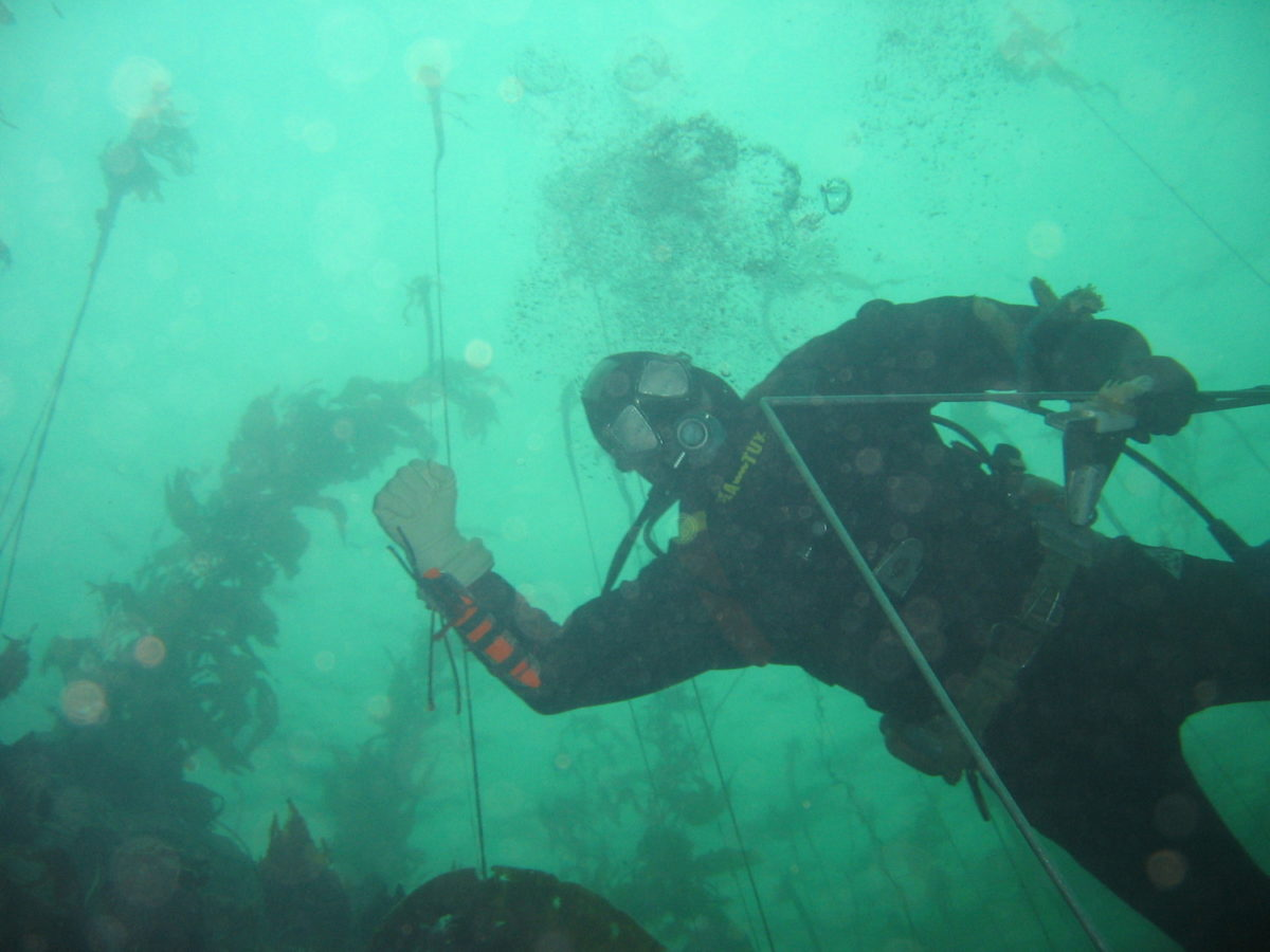 A diver conducting abalone surveys