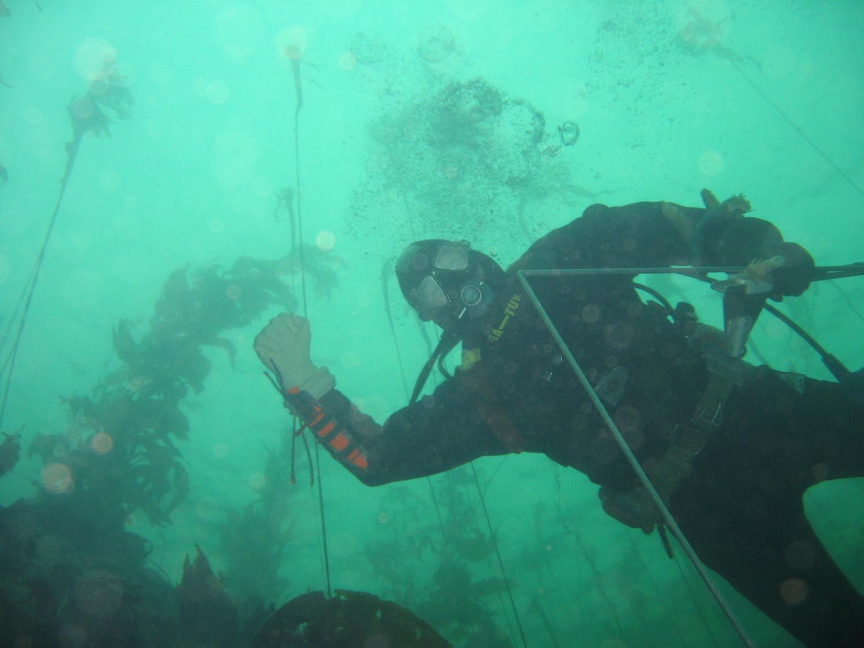A diver conducting abalone surveys