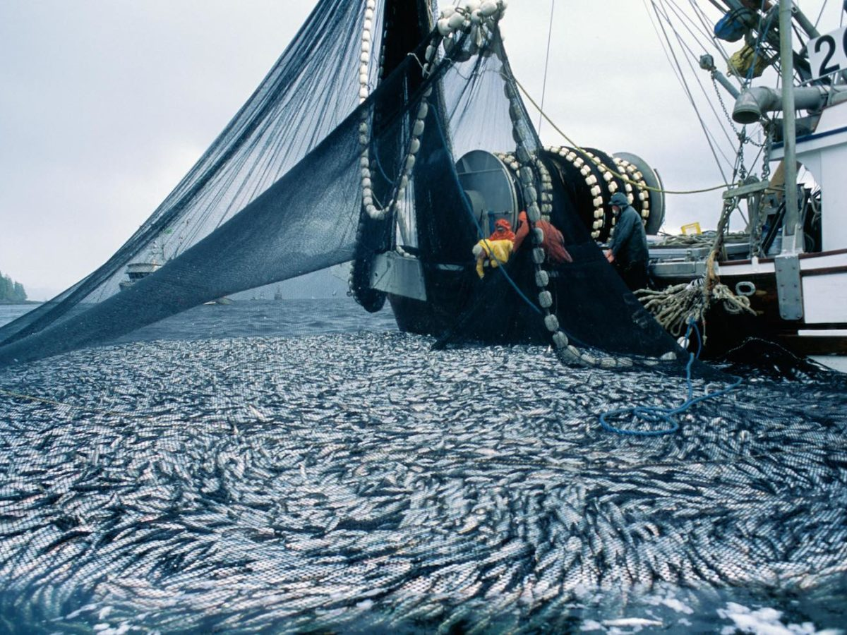 A herring seiner capturing thousands of herring in a set