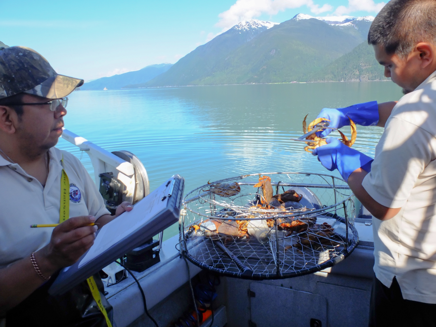 Measuring size of Dungeness crabs as part of CCIRA's crab research