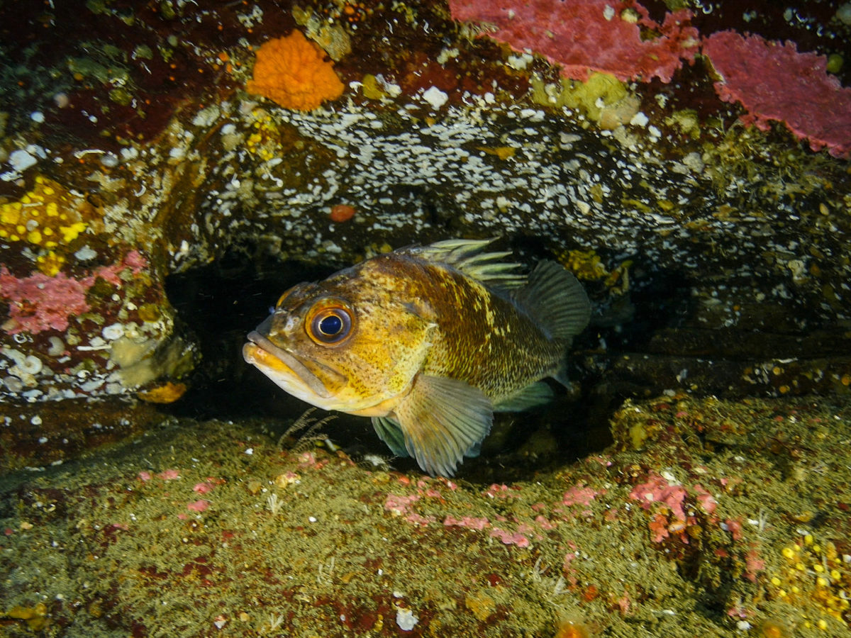 A quillback rockfish in the Great Bear Rainforest