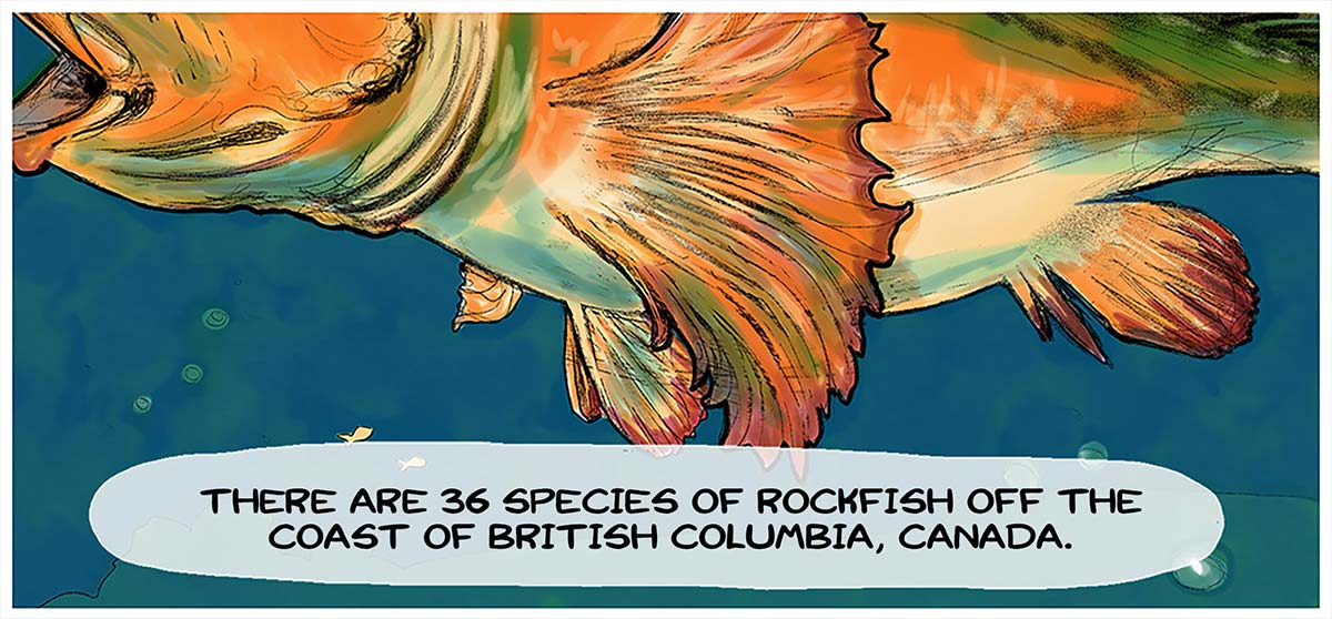 There are 36 species of rockfish off the coast of British Columbia, Canada.