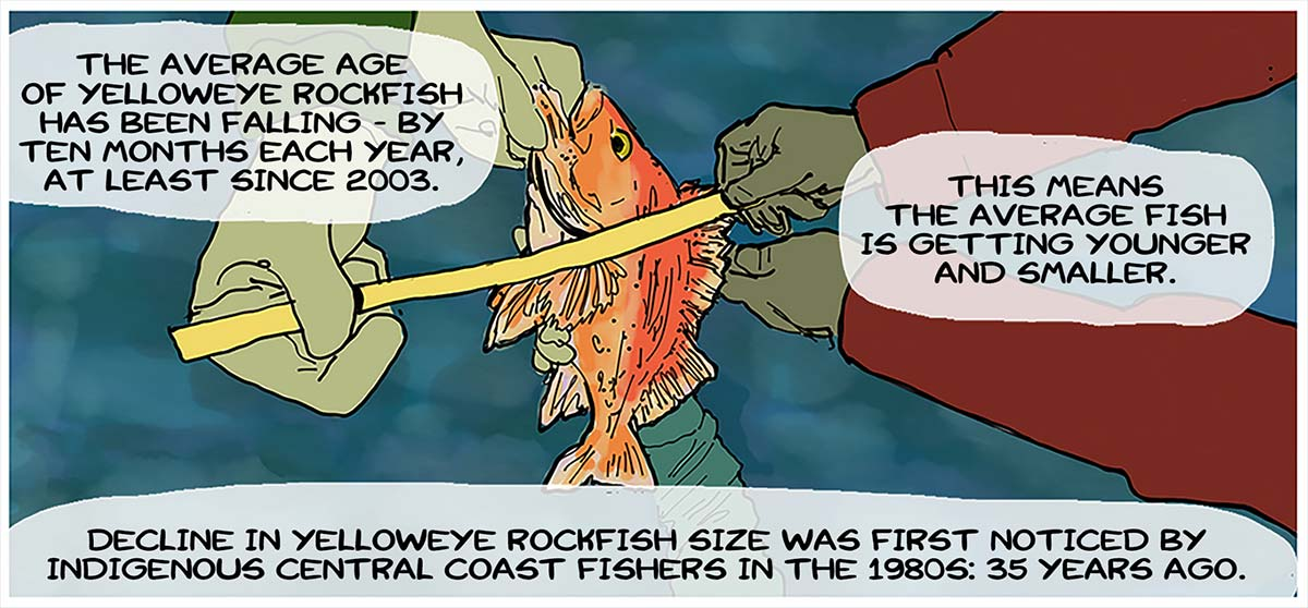 The average age of yelloweye rockfish has been falling - by ten months each year, at least since 2003: this means the average fish is getting younger and smaller: decline in yelloweye rockfish size was first noticed by Indigenous Central Coast Fishers in the 1980s: 35 years ago.