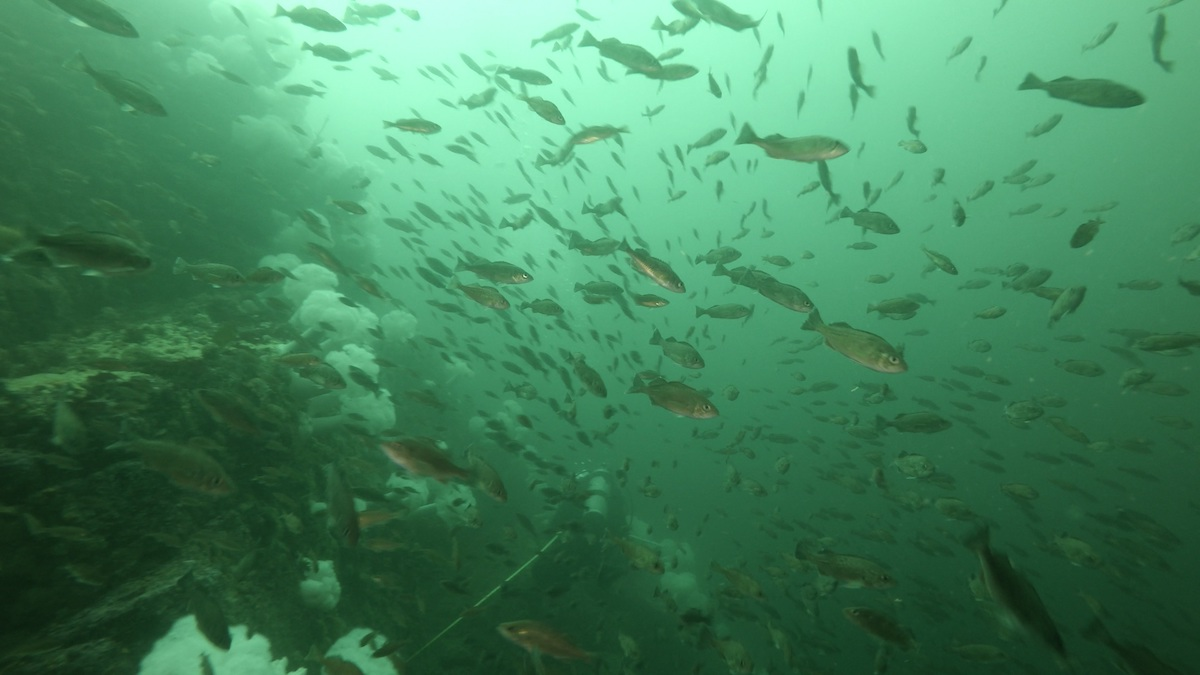 A diver swims through a large school of subadult widow rockfish while conducting rockfish research