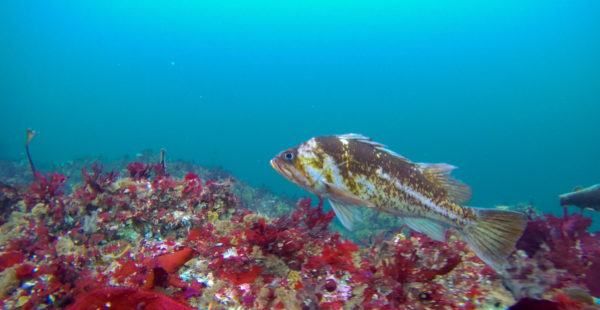 A copper rockfish swimming.
