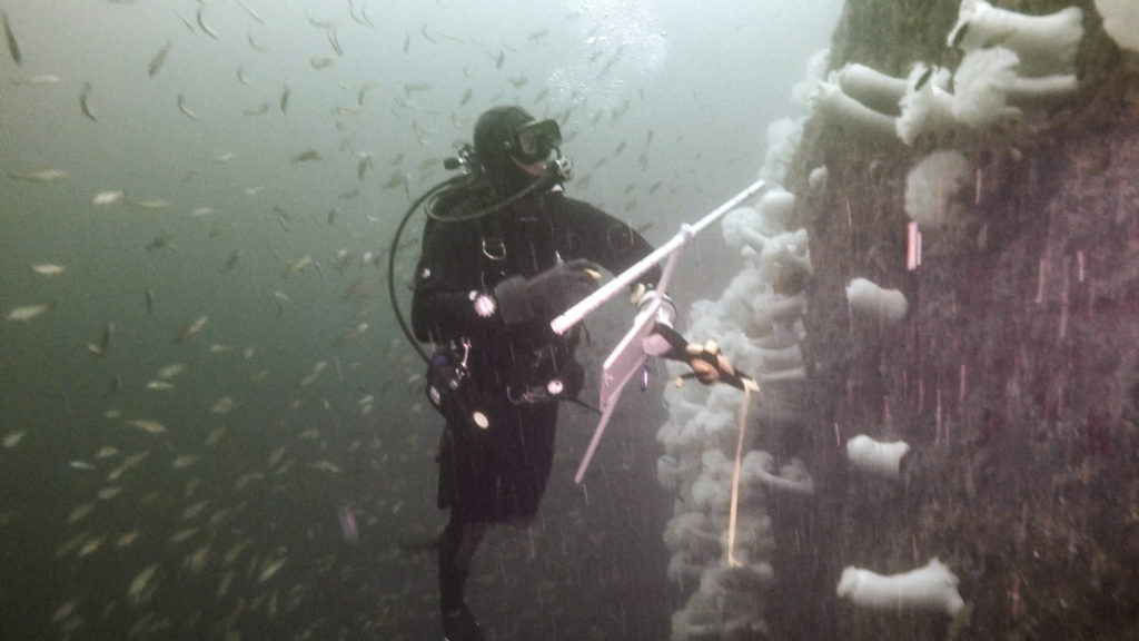 Diver conducting a fish transect on rockfish.