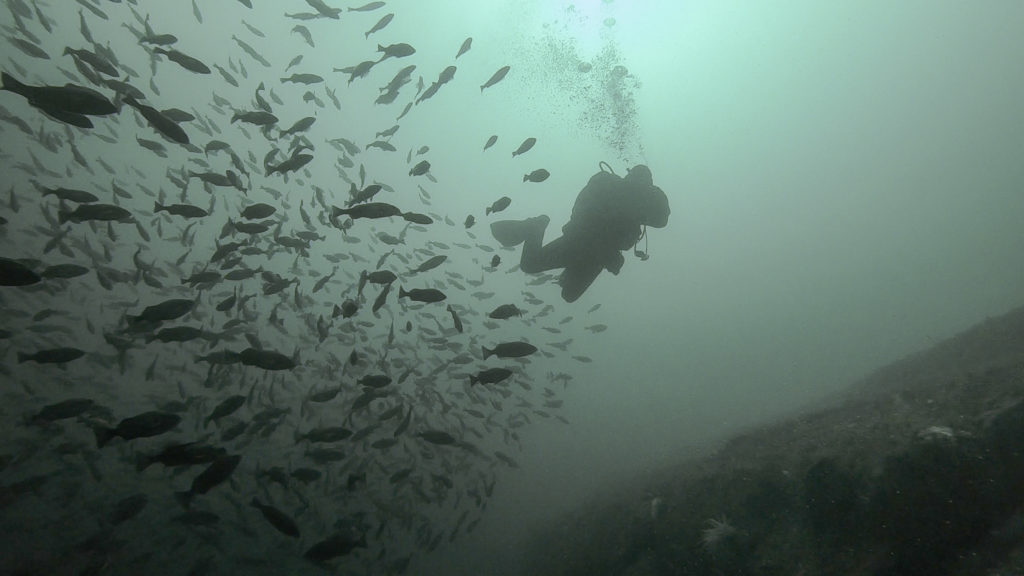 Diver with a school of rockfish.