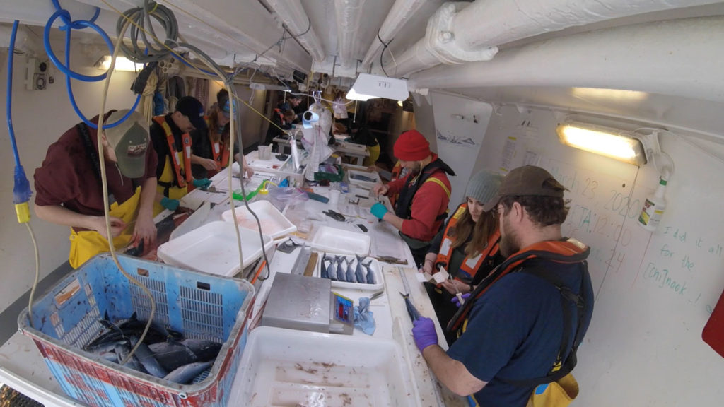 Processing salmon by collecting weights, lengths, tissue samples, scale samples, and stable isotopes.