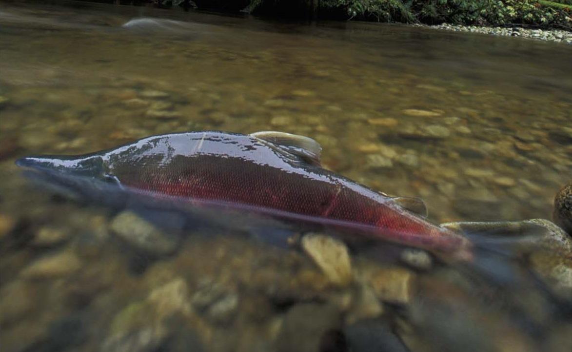 Sockeye salmon spawing in a Central Coast stream