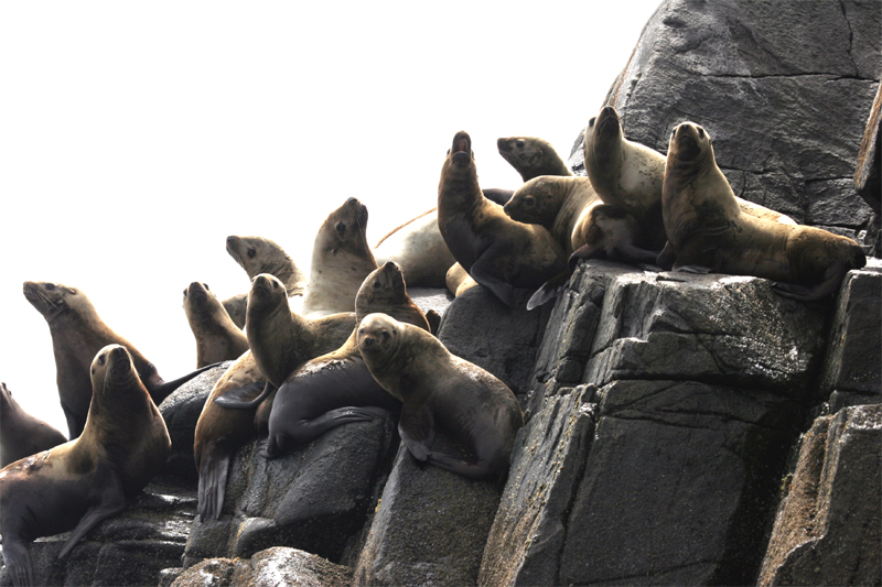 Sea lions sun themselves on a rocky shoreline in the Central Coast.